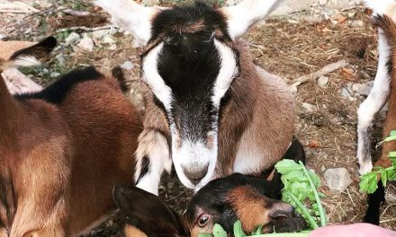 These are my goat pals at Josh Pond inMaine They m.